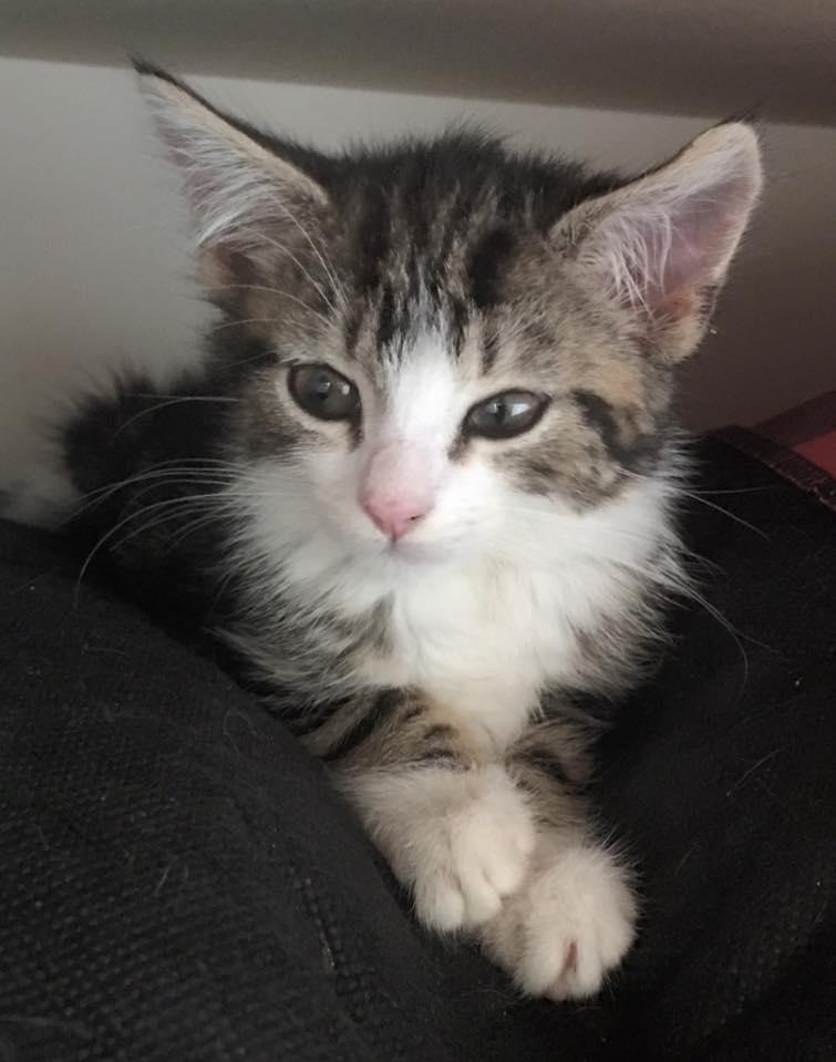 adopt-cat-tigerlilly